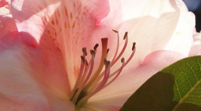 Przydomowa hodowla Różaneczników